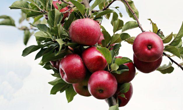 Æbletræer til haven, der har alt