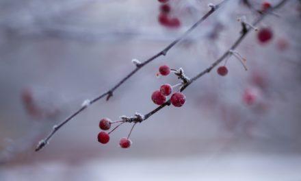 Skeena kirsebærtræ