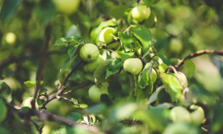 Guldborg er en af vores bedste æblesorter