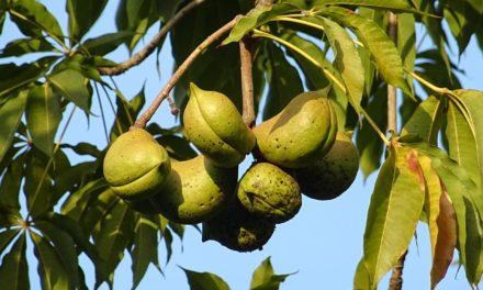 Udplantning og dyrkning af et mandeltræ
