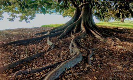 Sådan får du succes med figentræer