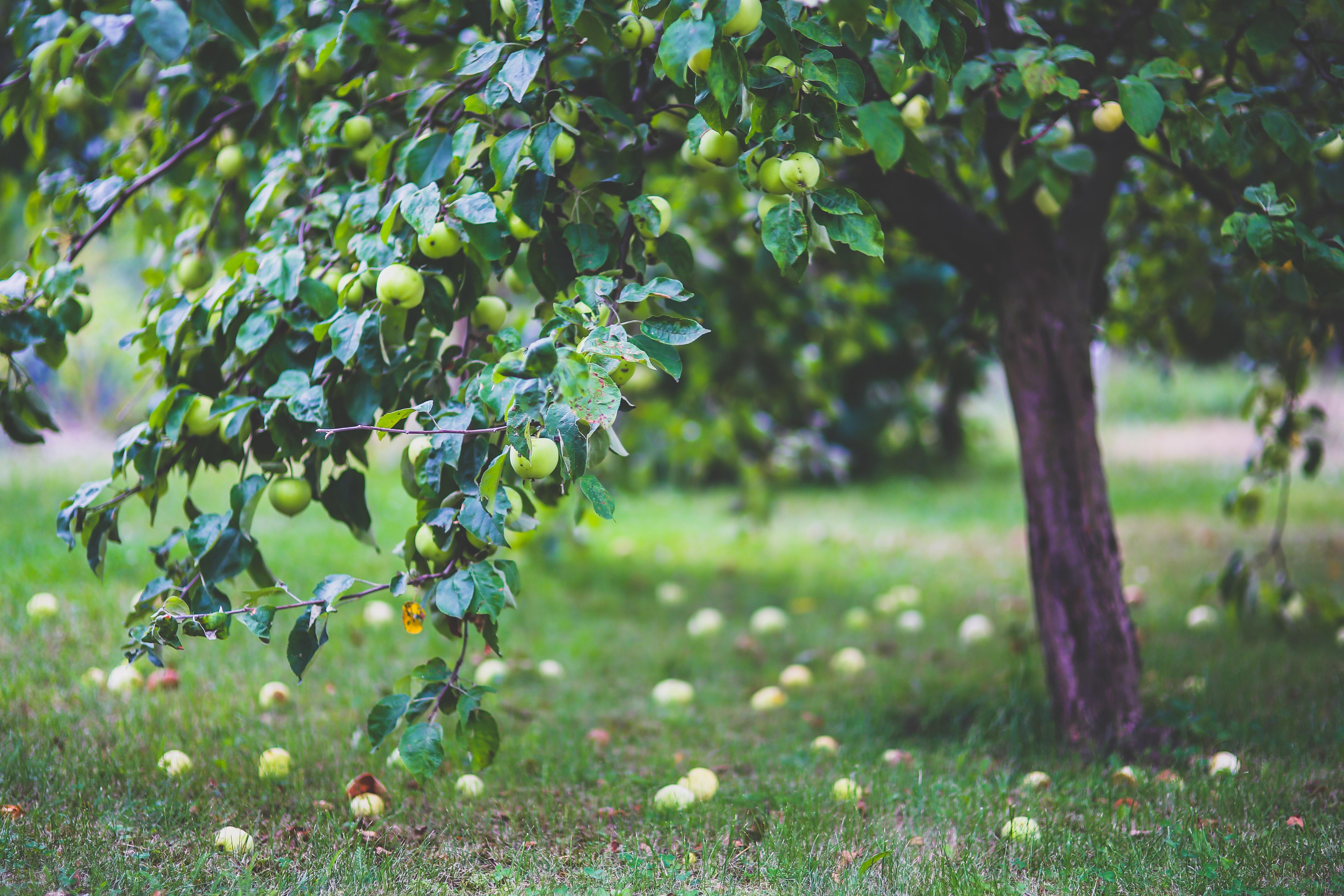 Frugttræer i den danske have