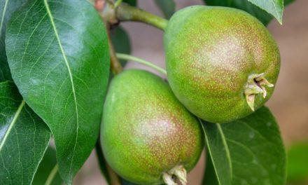 Få sunde og lækre pærer i haven med et pæretræ