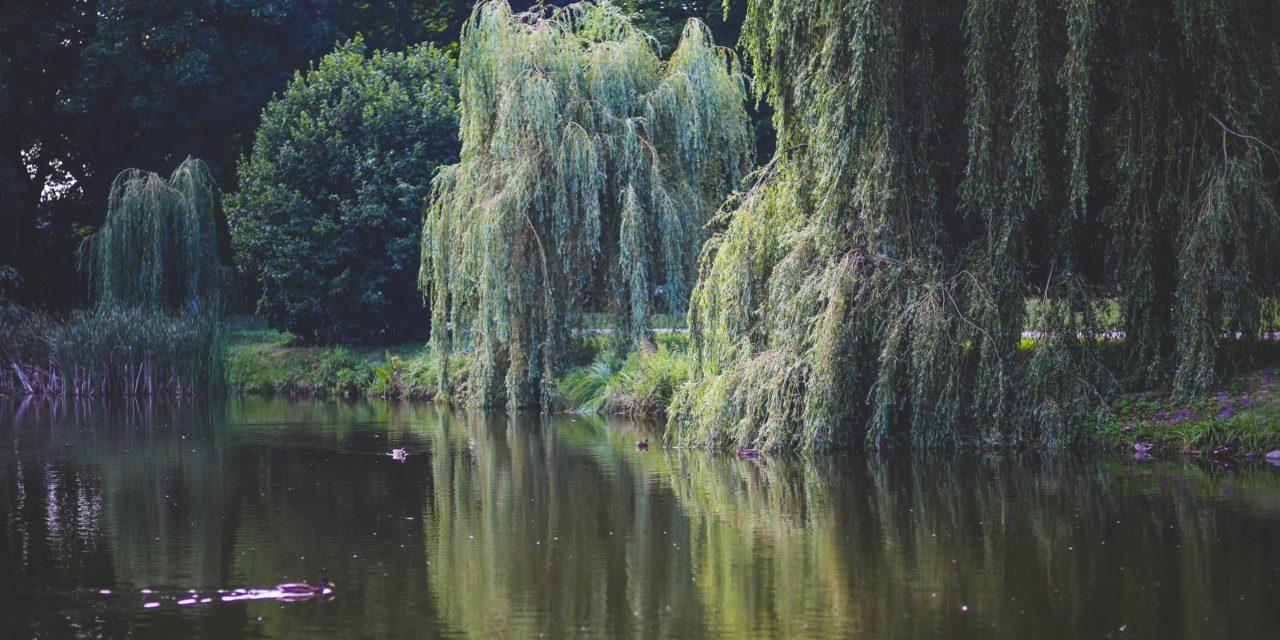 Piletræ – En fleksibel art med hurtig vækst