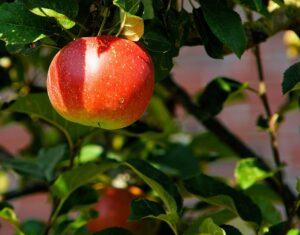 Æbletræ køb