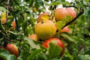 Køb æbletræ