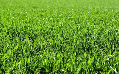 Rullegræs – ny græsplæne i løbet af få dage